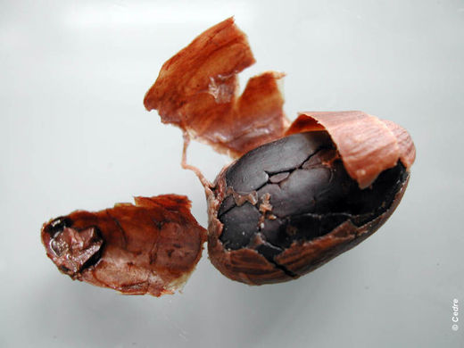 Experiment 1: Appearance of the cocoa bean after rinsing, after 14 days of immersion in seawater