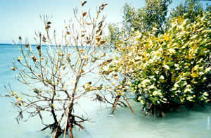 Mangrove affected by the Konemu's pollution