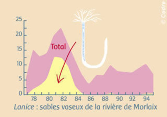 Evolution of the population of sandy mud on the river of Morlaix: Temporary colonisation by opportunist polychaete (Lanice)